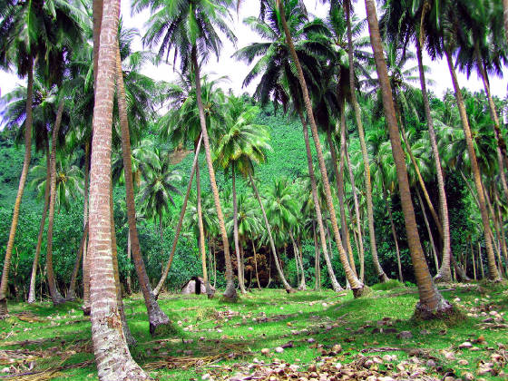 coconut-plantation.jpg